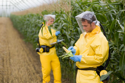 Researchers handling genetically modified corn.