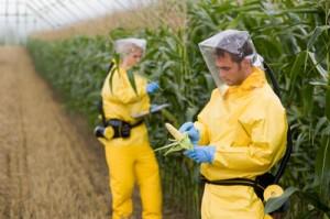 OGM-mais